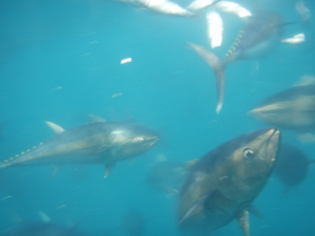 Ranched tuna feeding in a floating cage in Turkey.
