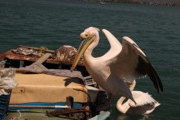 Pelican flapping wings in Turkey
