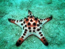 Chocolate chop starfish
