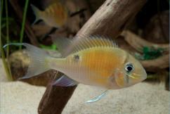 cupid fish cichlid biotodomacupido