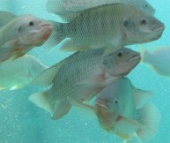 Adult tilapia favorite blogs of 2013