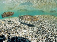 rainbow trout swimming in a river