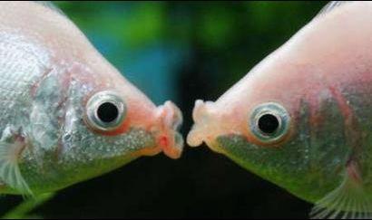 Valentine Card Kissing Fish Fish Navy Films