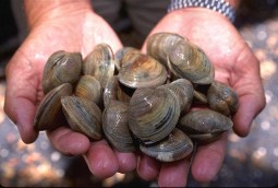 Hard clams being held in open hands