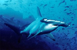 hammerhead shark protected by cites great for the UN International Day of Happiness