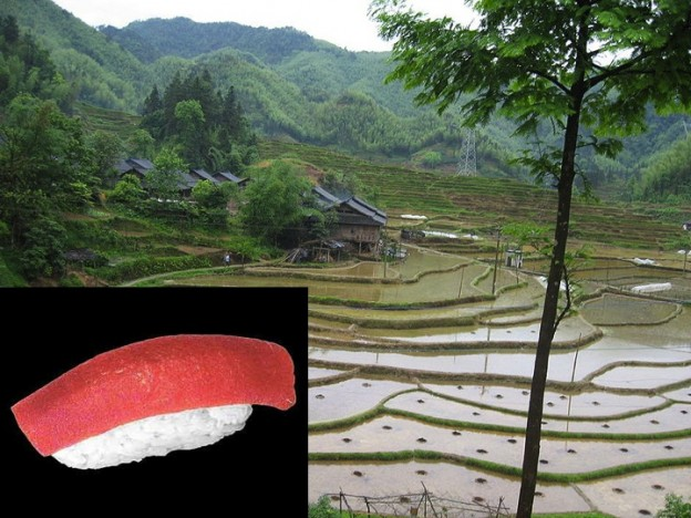Sushi growing in rice field April Fool's