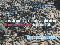 20 lbs of shrimp bycatch