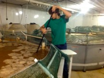 harvesting indoor shrimp farm