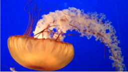 pacific nettle jellyfish
