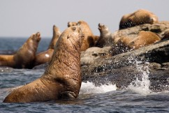 Thanksgiving thankful for Steller sea lions